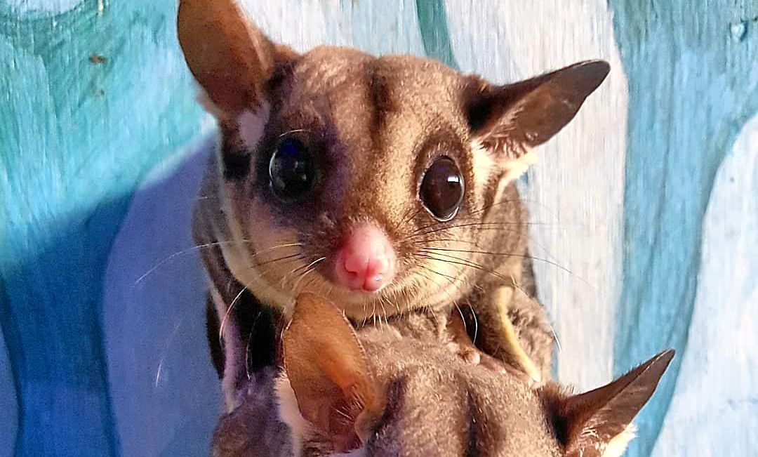 Sugar gliders have been added to The Macadamia Castle's Nocturnal show.