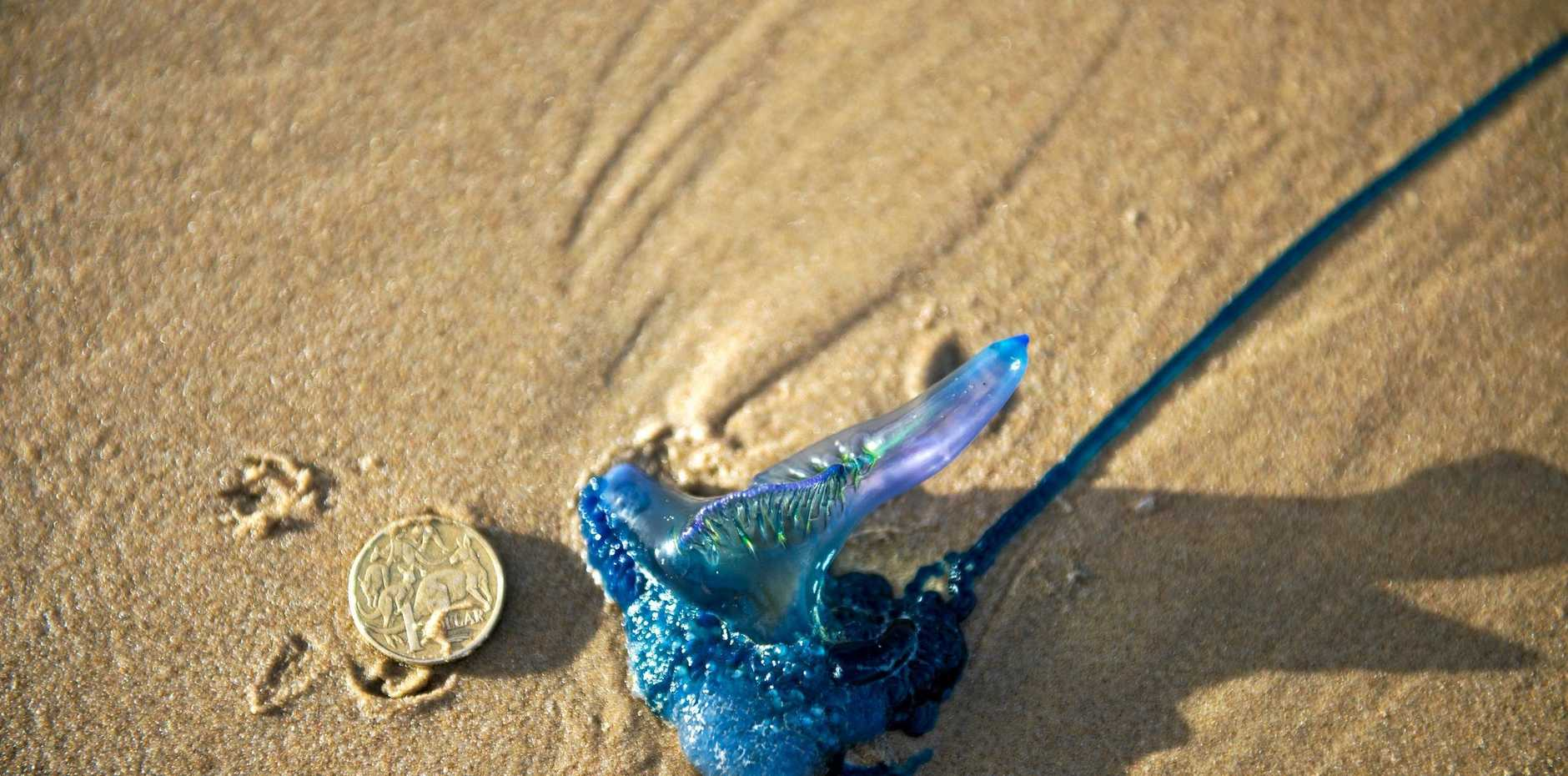 Marine bluebottle washed up on the beach.