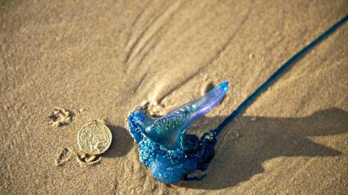 Marine bluebottle washed up on the beach.