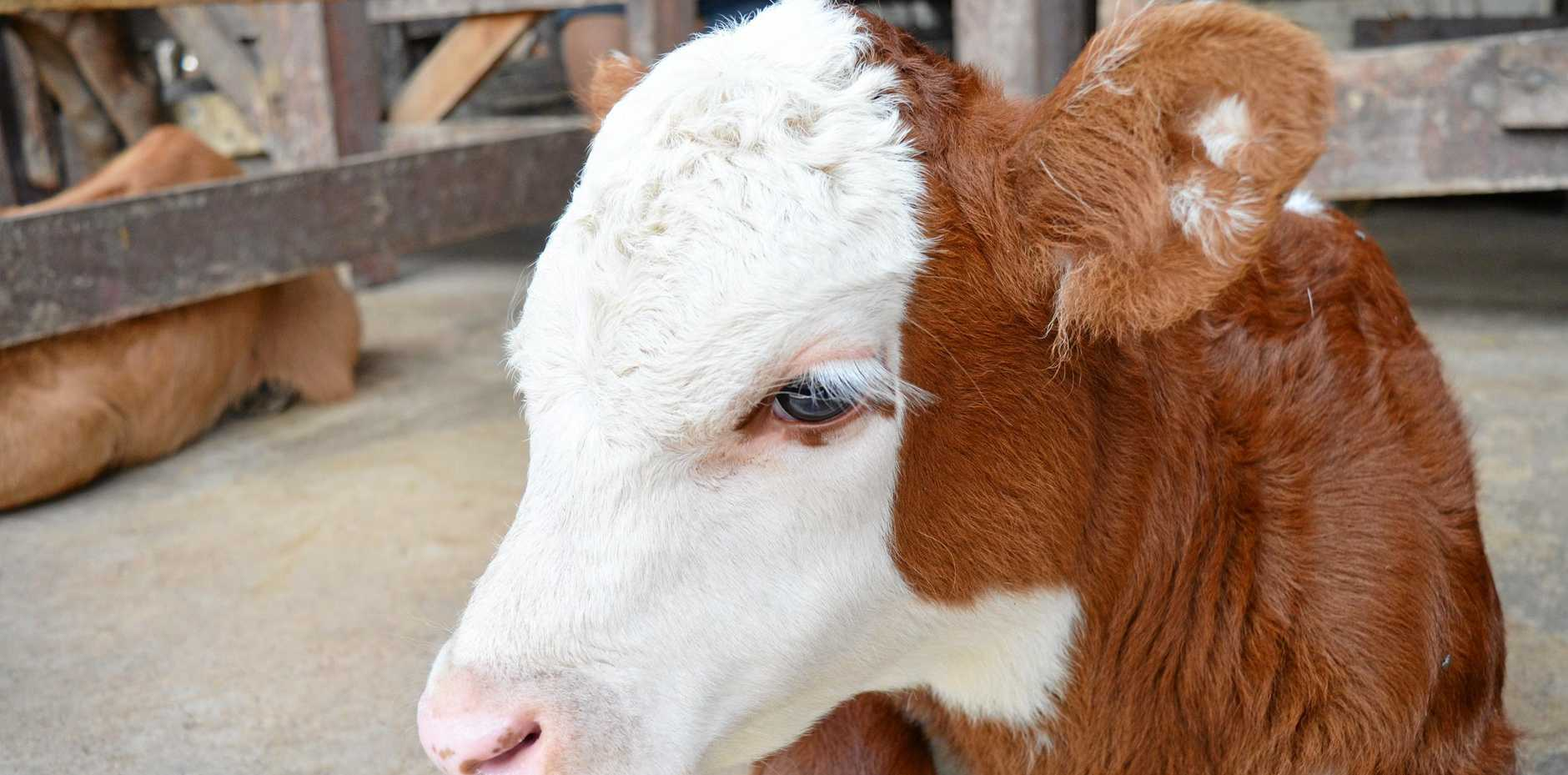 TOUGH TIMES: Cattle prices took a hit last winter.