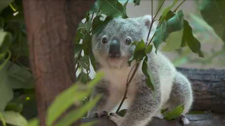 The Great Koala National Park proposal was first floated as an election issue four years ago.