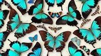 BEAUTIFUL BUGS: Case of Ulysses Butterflies is pictured from the Dodd Collection. See beetles and bugs both large and small this summer as you explore the Insectarium at Cobb + Co.