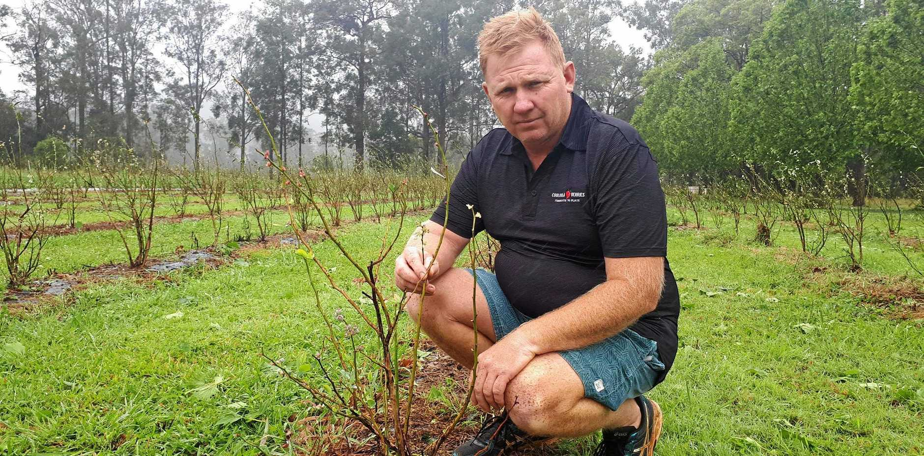 REGROWTH: Cooloola Berries owner Jason (pictured) and Kim Lewis say they are unlikely to be eligible for available disaster support after last October's hail storm devastated their crops, but are confident of the community's support.