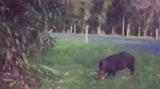 Feral pigs have been filmed terrorising the Daintree Ice Cream Company, ripping up young plants, eating low-hanging fruit and and killing native wildlife. PICTURE: SCREENSHOT