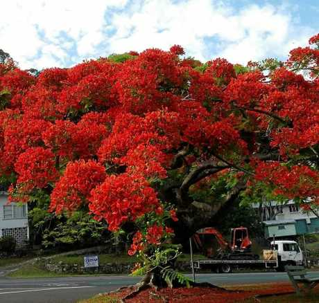 The stunning sight of a Royal Poinciana.