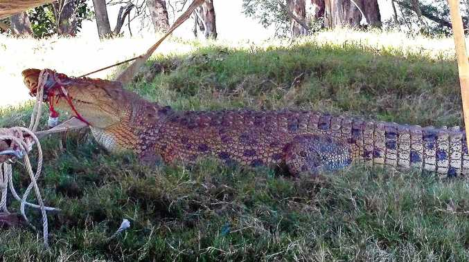 CROCS ON THE MOVE: At least 10 crocodiles were reported locally last year. This croc was captured at Mungar in 2013.