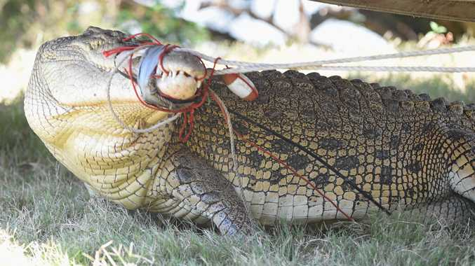 CROC SIGHTINGS: A 3.8m crocodile caught in the Mary River in 2013. A DES spokesman said none of last year's sightings were confirmed.