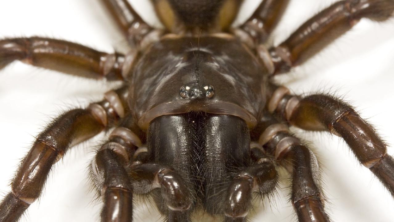 A Fraser Island Funnel Web spider (Hadronyche infensa)