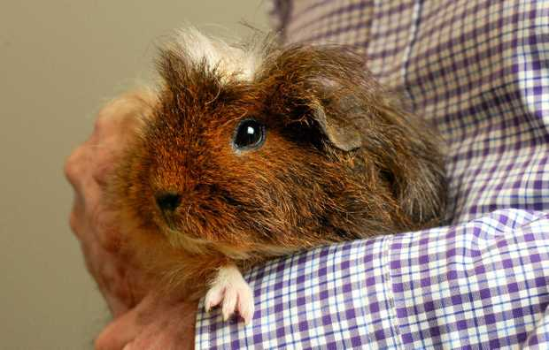 LOOKING FOR LOVE: A rescued guinea pig, held by RSPCA Qld spkesperson Micahel Beatty.