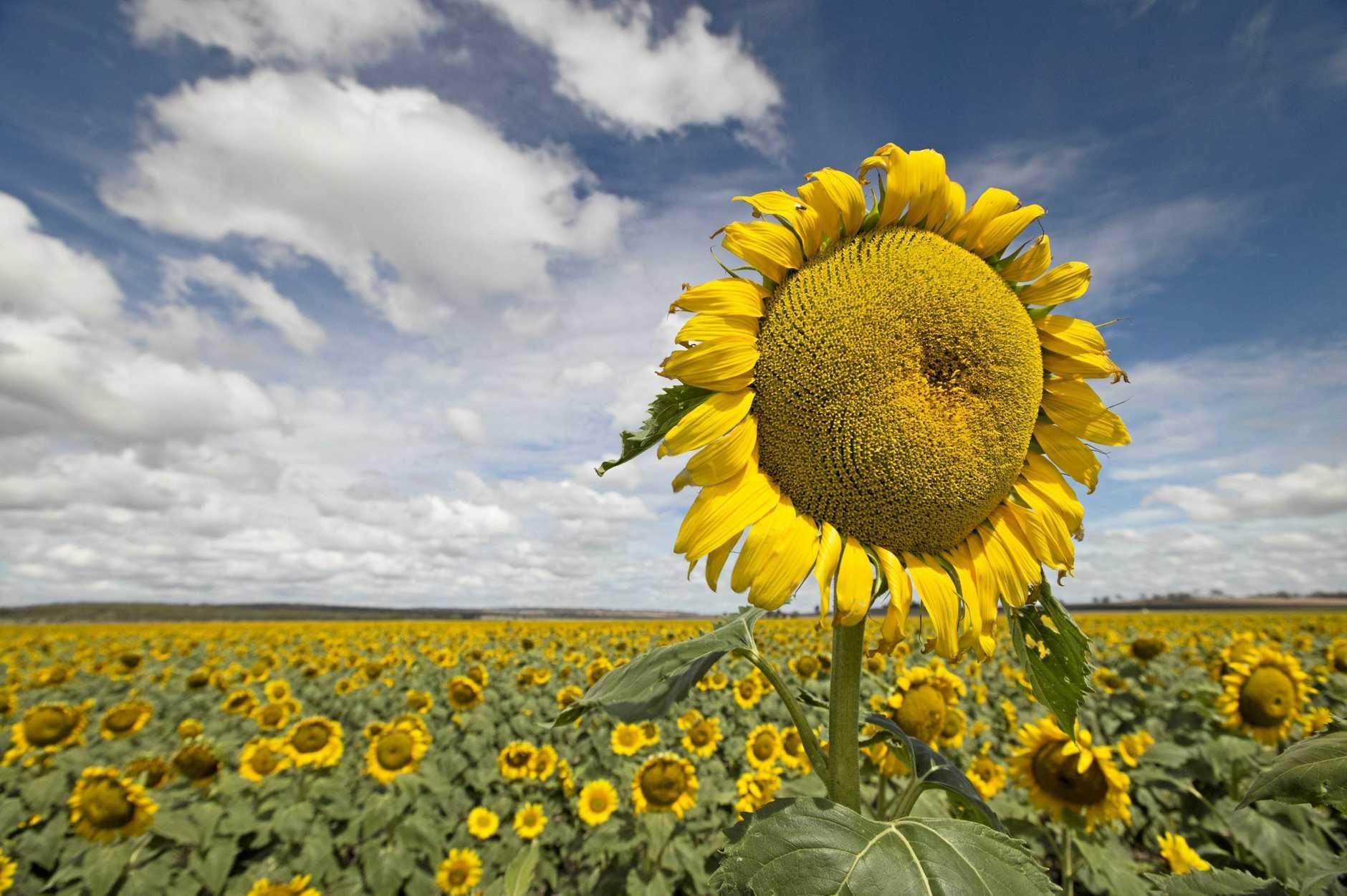 Sunflower field near Clifton, Friday, January 06, 2017.