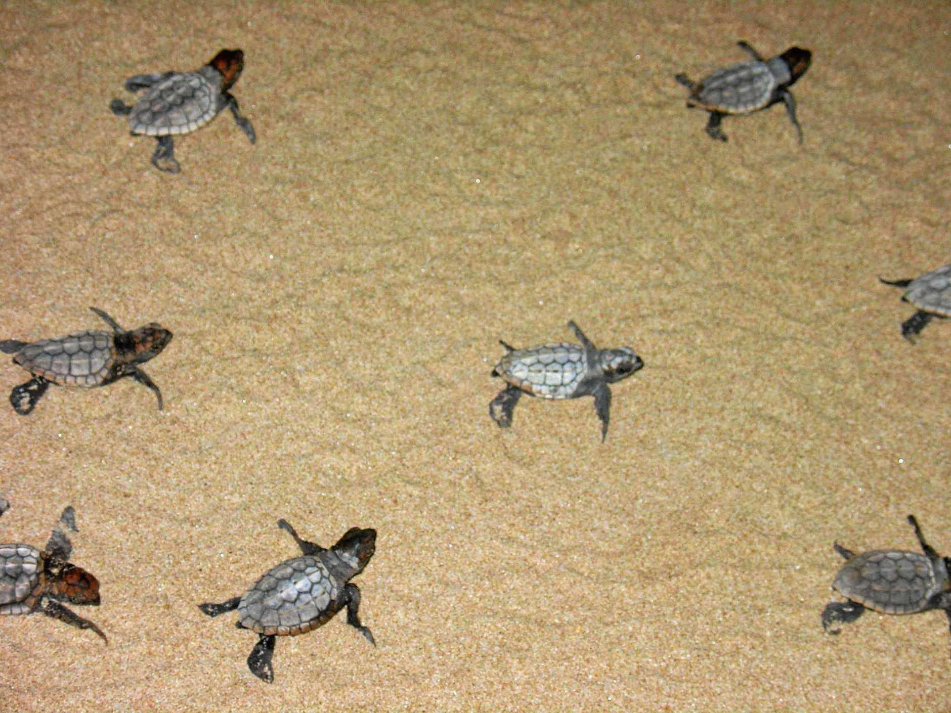 SUCCESS: Loggerhead hatchlings making their way across the sand.