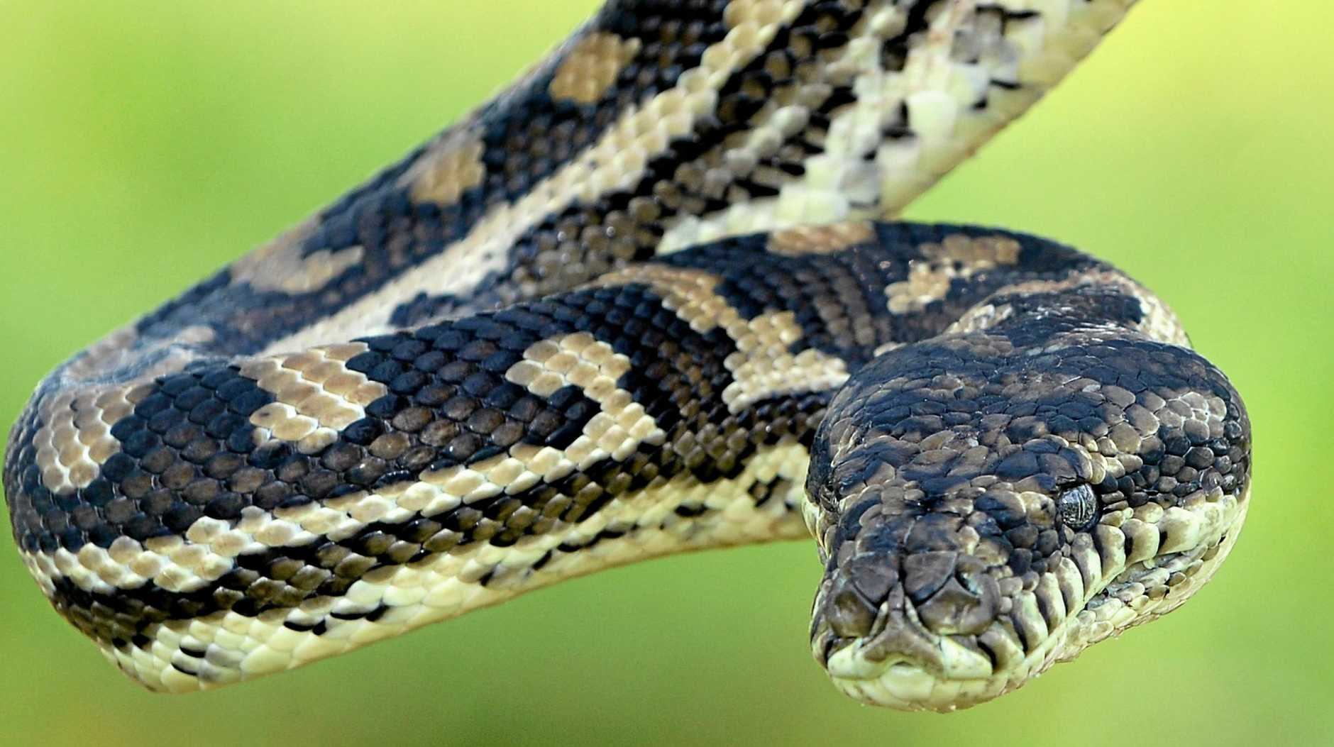 Two snake bites have been reported in the region in the past three days.
