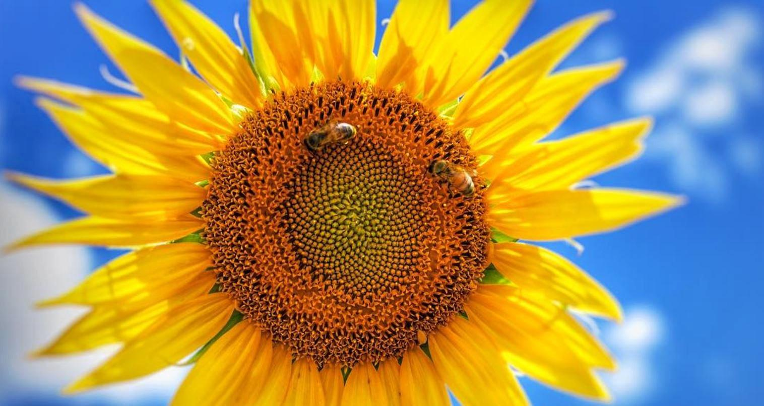 An emerging Warwick photographer Samaria captured this amazing photo of a bring sunflower near Allora.