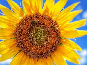 10 golden facts about sunflowers you really need to know