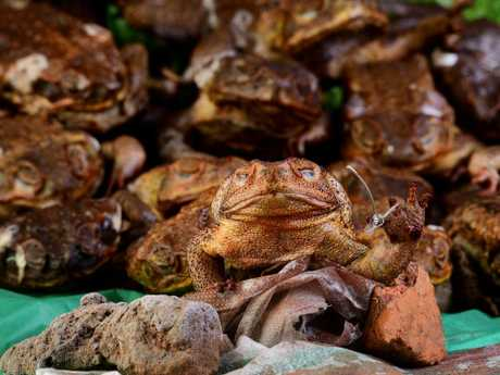 Cane toads are a major problem across the country. Picture: Justin Kennedy