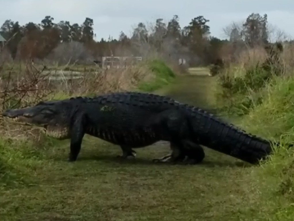 Monster Alligator Spotted At Reserve Northern Star