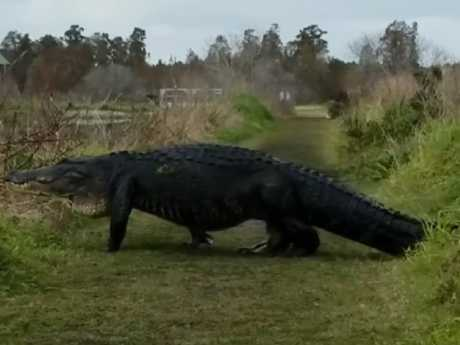 The massive alligator called Fabio was spotted near a golf course in Florida late last month. Picture: Facebook