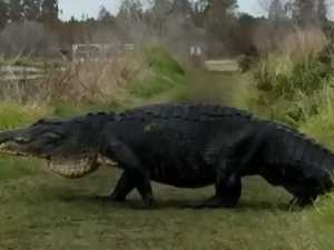 'Monster' alligator spotted at reserve
