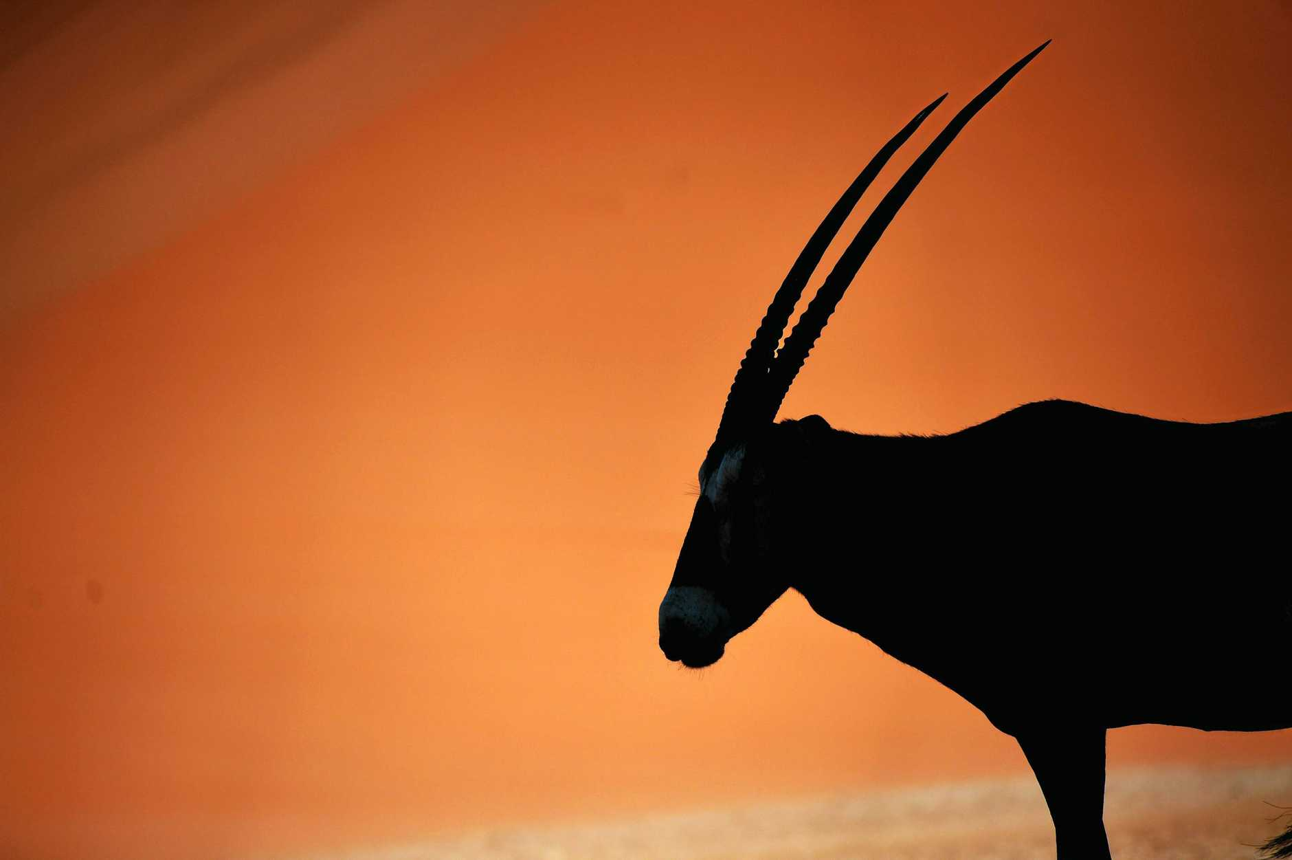 The incredible horns of the Gemsbok against the red sand of the dunes.