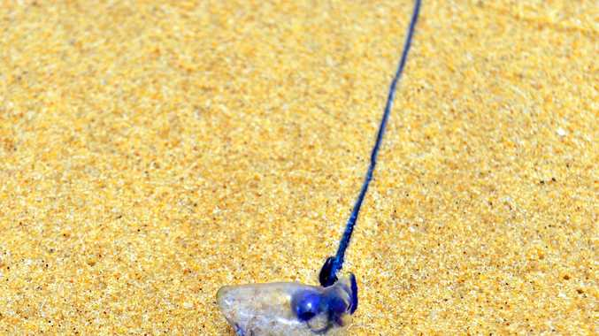 BIG STING: Bluebottles are bombarding  Sunshine Coast beaches after weeks of relentless  winds.