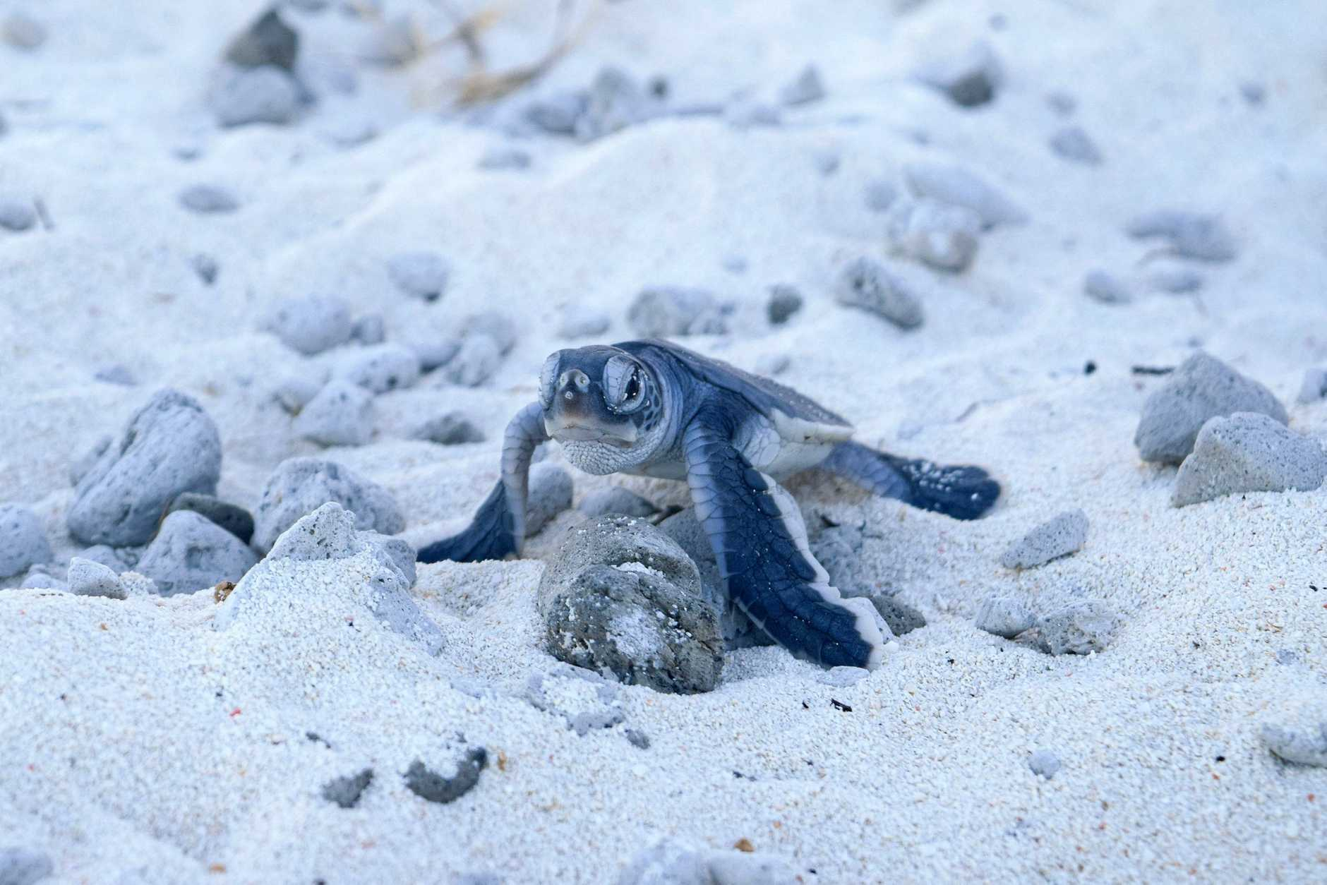 FIRST VENTURE: Turtle hatchlings are making their way across the sand and back into the ocean at Heron Island.