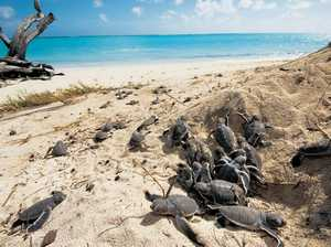 Hundreds of turtle nests begin to hatch at Heron Island