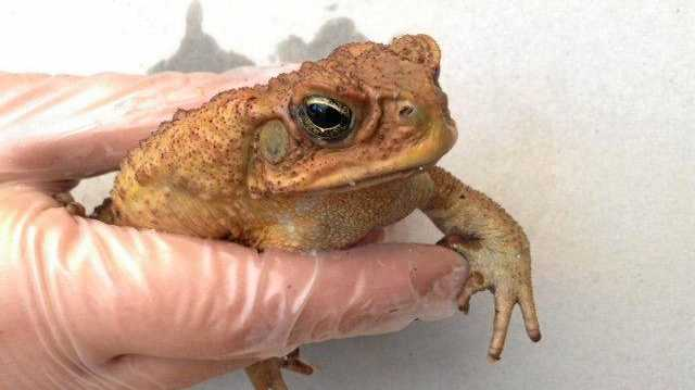 CASH FOR CANE TOADS: Gympie farmers agree with the proposed 10c scheme.