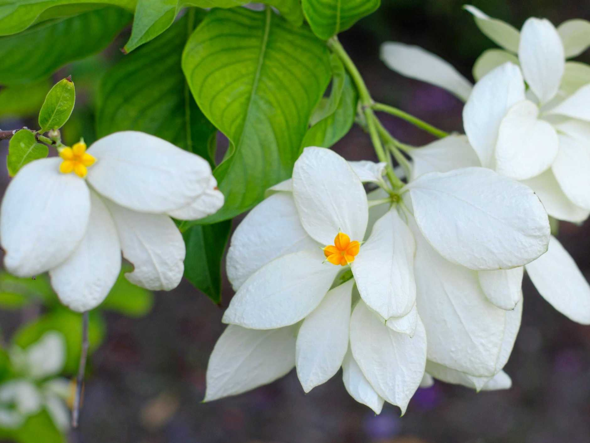 The spectacular mussaenda.