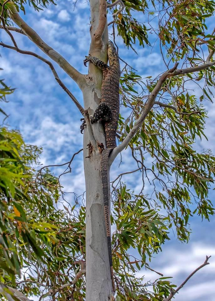A two-metre goanna staying out of trouble up in the tree.