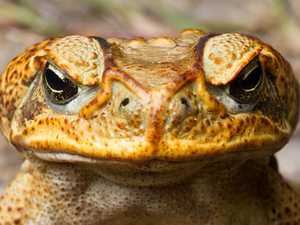 Cane toad CIA holds line against southern march