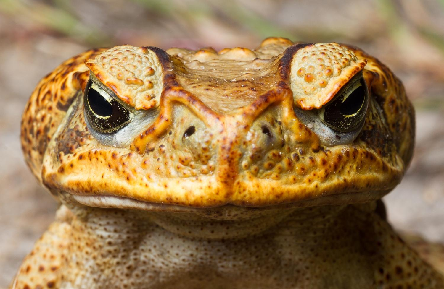 Supplied image of Cane Toad from Department of Primary Industries.