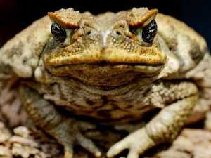 Croakback Mountain: Is this the end of the cane toad?