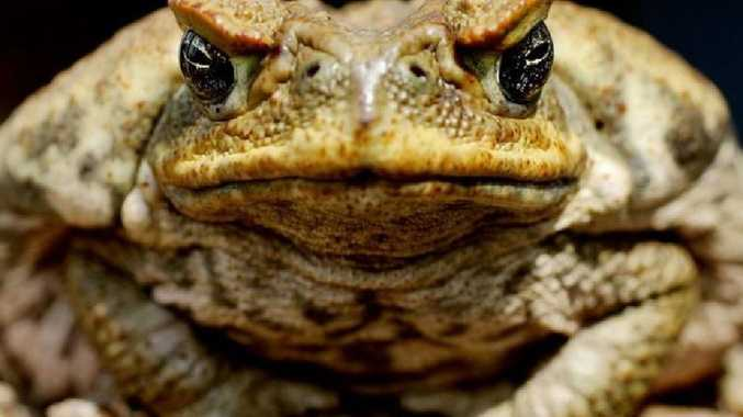 All-male sex-editing gene-tech 'could wipe out cane toads'
