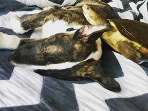 How rescue bully puppy befriended 34YO pet turtle