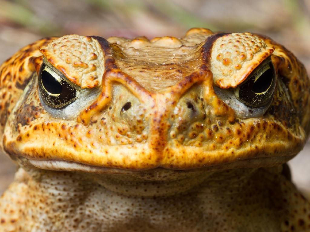 Pauline Hanson wants a bounty on cane toads