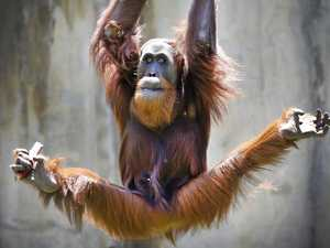 Why Melbourne Zoo's orang-utans will soon have a gym