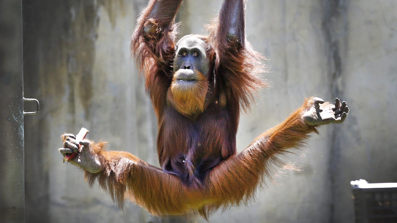 Melbourne Zoo male orang-utan Malu, 15, shows off his muscles, which he hopes to build up in a planned gym. Picture: David Caird