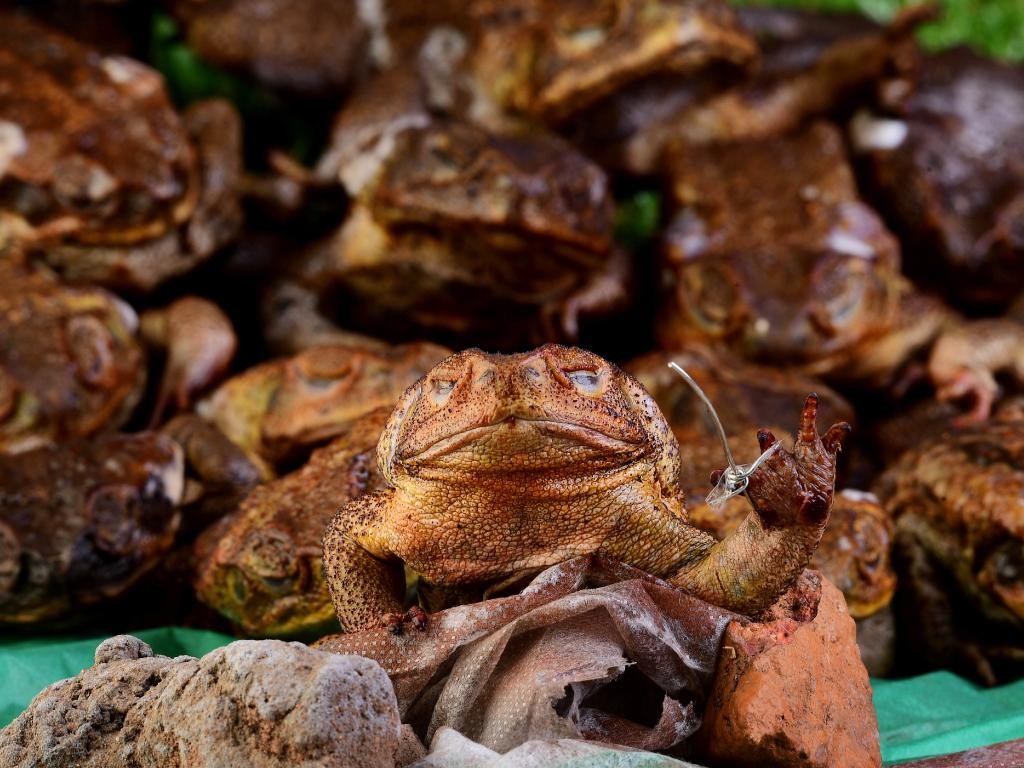 Cane toads have had a huge impact on native animals. Picture: Justin Kennedy