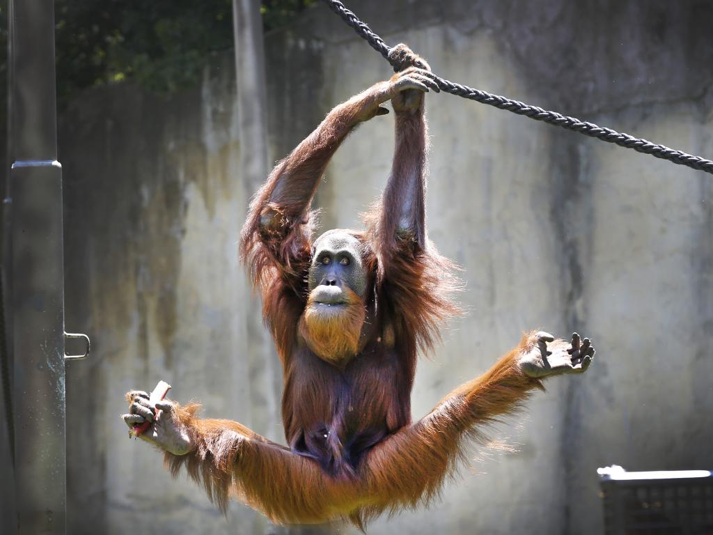 Melbourne Zoo male orang-utan Malu, 15, shows off his rope swinging skills. Picture: David Caird