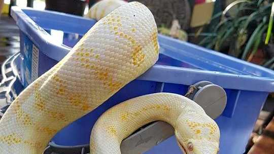 LOVED PET: This albino Darwin python has gone missing from a Cannonvale home.