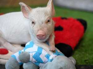 HEART MELTING: Piglet born without hooves needs your help
