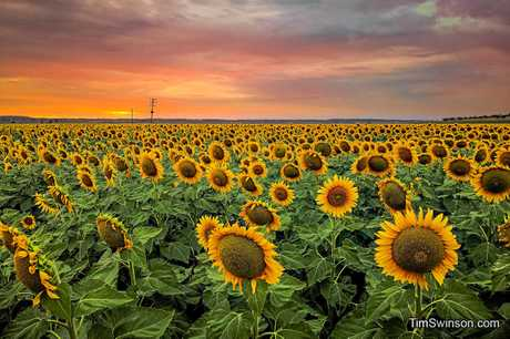 Tim Swinson captured stunning photos of a sunflower field in Oakey just using his mobile phone.