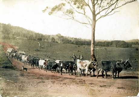 Aubrey Low with his bullock team, Eumundi, ca 1945. Aubrey Low (1900-1967) was the son of William Clark Low (the first European child to be born in Yandina). He began timber getting in 1920 with six bullocks and by the 1940s he had built up to three bullock teams. He supplied timber to the Forestry Department as well as to mills in various localities including Brisbane.