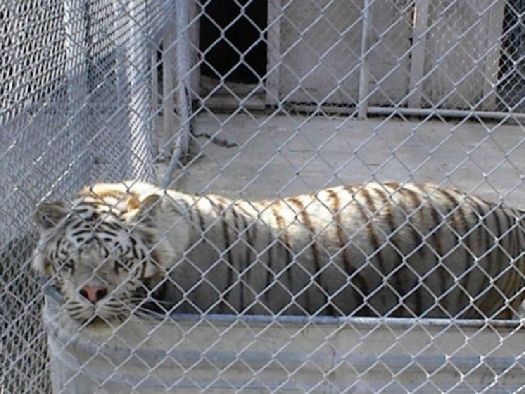 Kenny's tiny enclosure his breeder kept him in. Picture: Turpentine Creek Wildlife Refuge