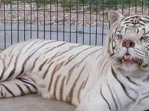 Sad story behind world's 'ugliest' tiger