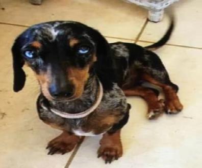 Winnie the mini dachshund.