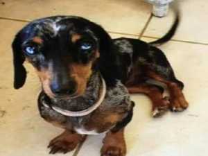Five charged over theft of Winnie the mini dachshund