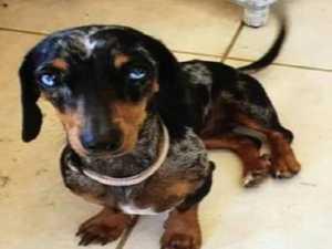 Fresh appeal to find Winnie the mini dachshund