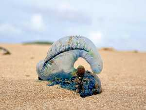 Dozens already stung as blue bottles blow back to shore