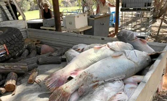 Giant Murray cod killed when oxygen levels dropped   in the Murray-Darling rivers system are a reminder of the need for an adequate drought plan.